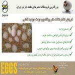پرورش بوقلمون با تخم نطفه دار تضمینی