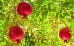 فروش باغ انار و فروش فوری باغ مرکبات