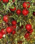فروش فوری باغ انار شیرین در بهشهر