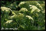 مزایده گیاه  دارویی آنغوزه