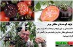 فیلم آموزش پیوند زدن گوجه فرنگی